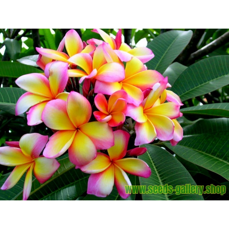 "Sementes de Plumeria ""Orange Spender"""