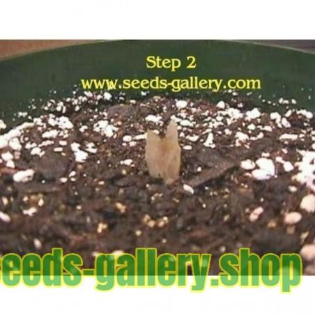 Sacred Lotus Seeds