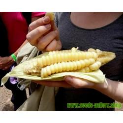 Graines De Maïs Géant De Cuzco