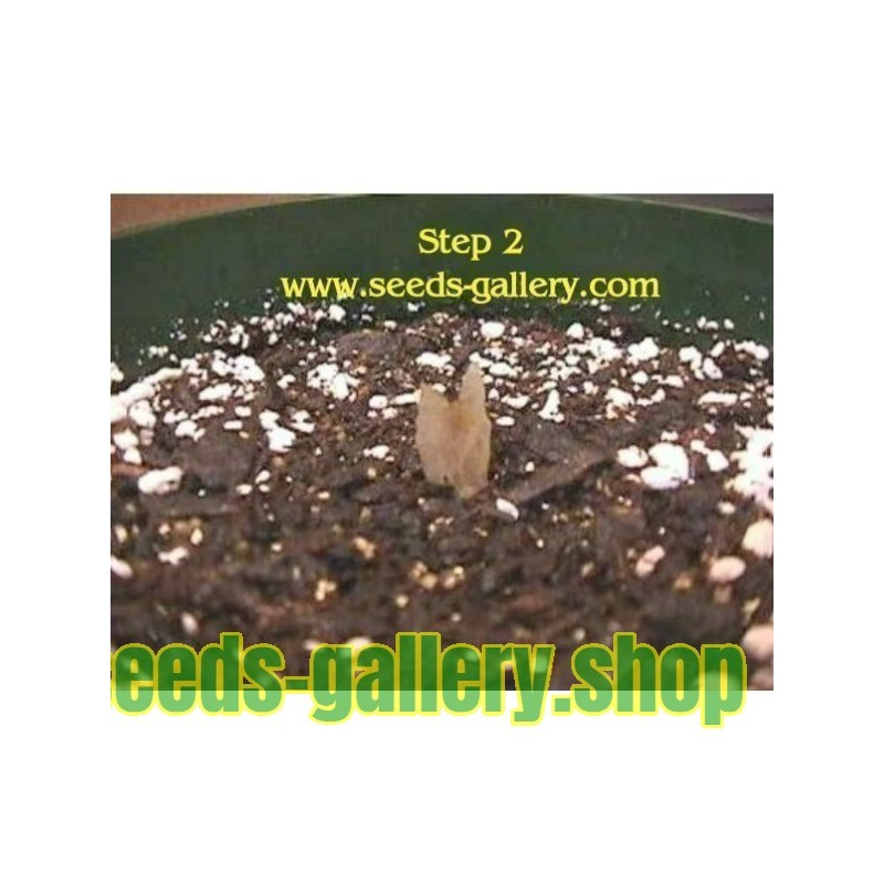 Solenostemon (coleus) Wizard Mix Seeds