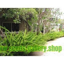 Semi di Asparagus densiflorus 'Sprengeri'