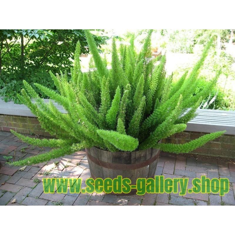 Zierspargel Samen - Asparagus 'Sprengeri'