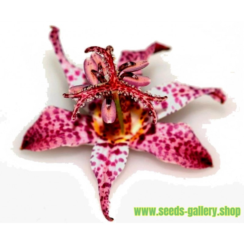 Toad Lily Seme