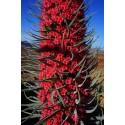 Saguaro Cactus Seeds