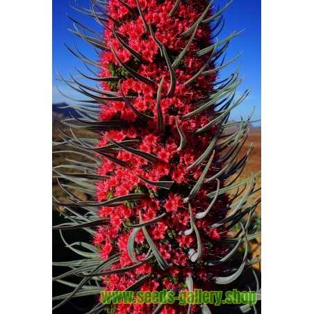 Trinidad Scorpion Rot und Gelb Samen 1,5 Mil. SHU