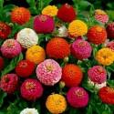 Zinnia Tall Seeds