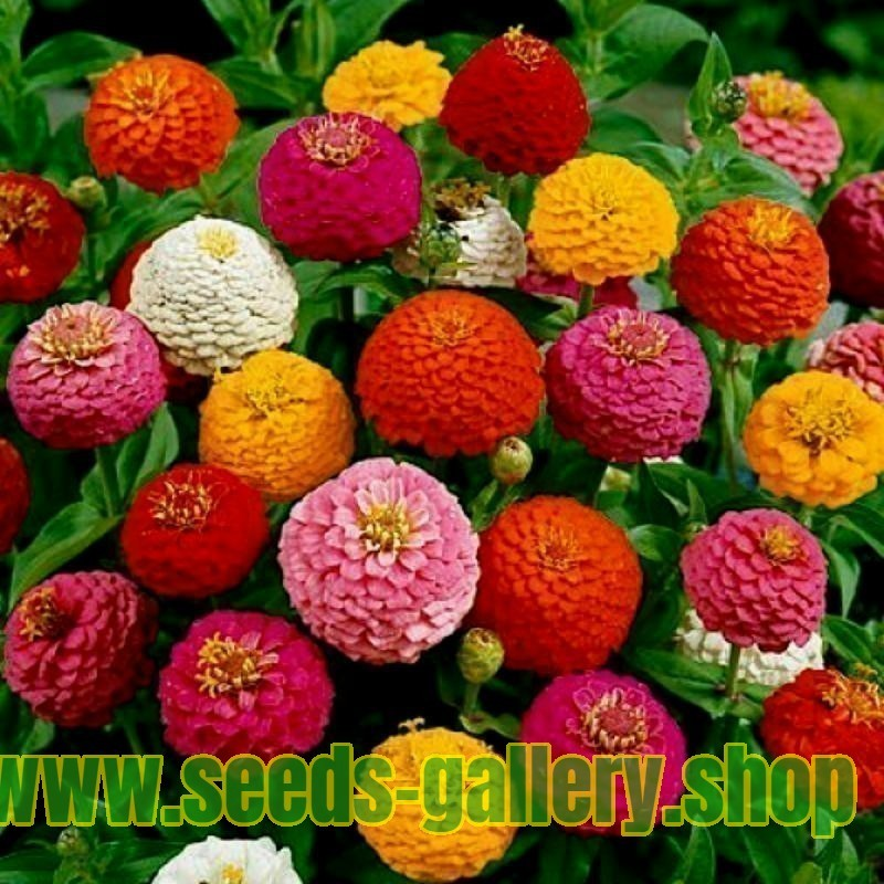 Zinnia Tall Seeds