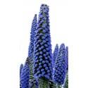 Blue Steeple Tower of Jewels Seeds