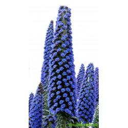 Σπόροι Έχιο Πύργοι των Κοσμημάτων Blue Steeple
