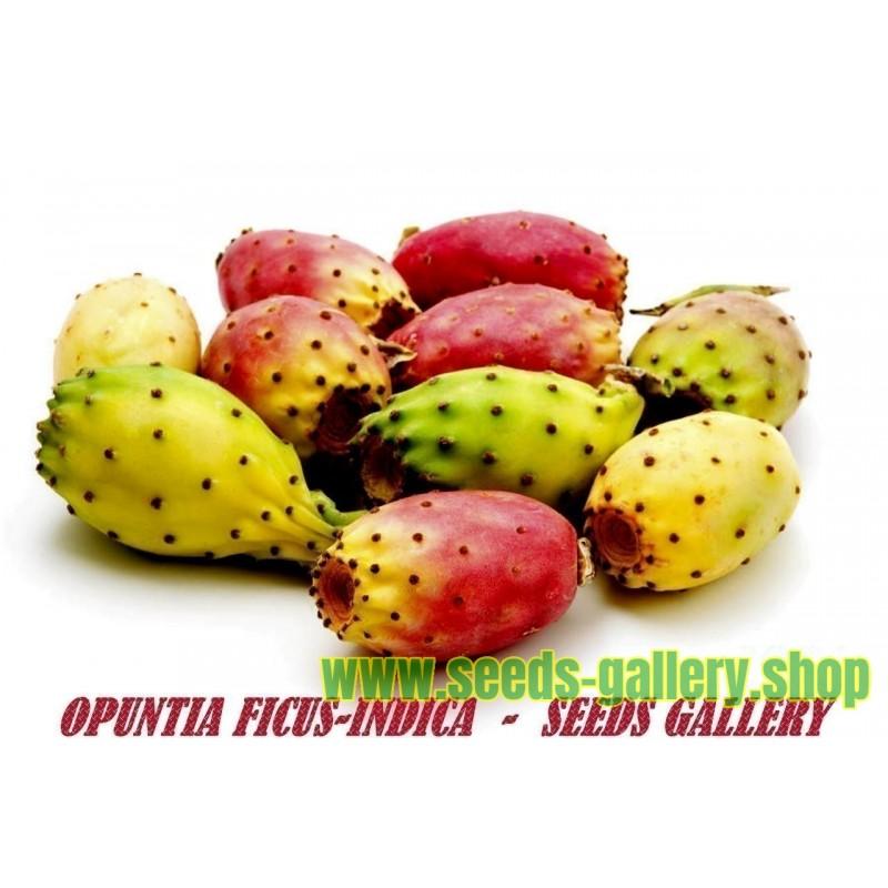 Semillas de Chumbera, Tuna, Nopal (Opuntia Ficus-Indica)
