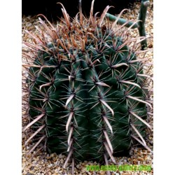 Σπόροι Ferocactus Peninsulae