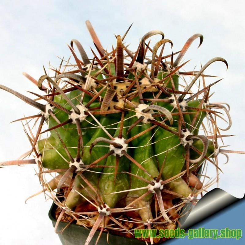 Semillas de Ferocactus peninsulae