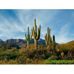 Κάκτος Σπόροι Saguaro