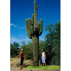Saguaro Kaktus Seme