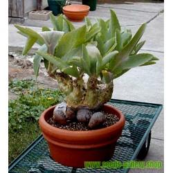 Mammutblatt Pflanze Samen