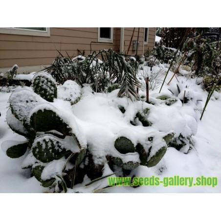 Σπόροι Κάκτοι Opuntia Robusta