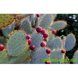 Wheel Cactus or Camuesa Seeds (Opuntia robusta)