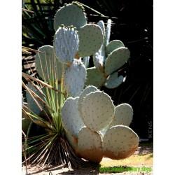 Sementes de Silver Dollar pêra espinhosa (Opuntia robusta)