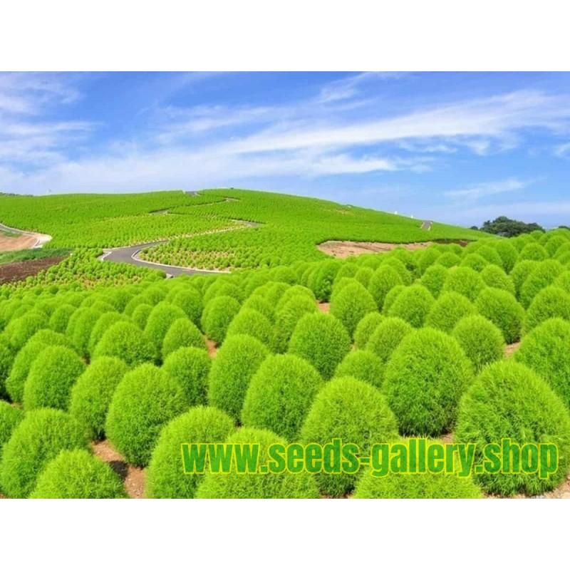 Sommerzypresse Samen (Kochia scoparia)