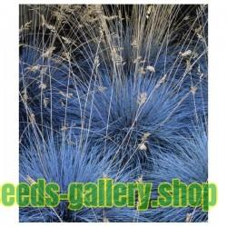 Blue Grass Seeds Festuca Glauca Intense Blue
