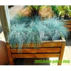 Plava Trava Seme - Festuca Glauca Intense Blue
