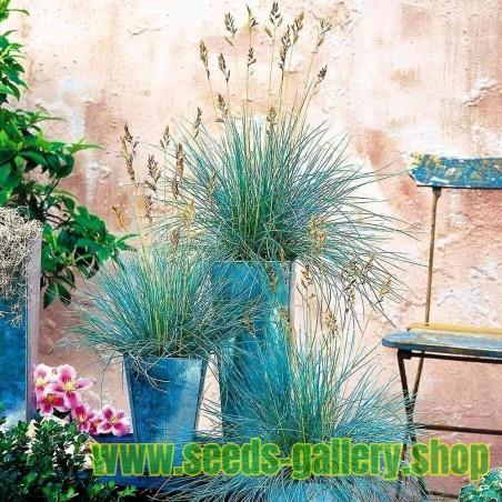 Asparagus Seeds EARLY ARGENTEUIL