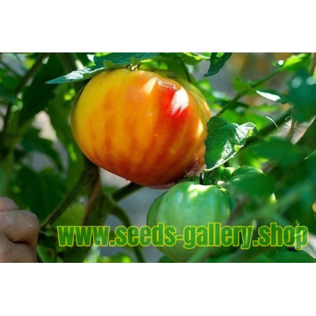 Beefsteak Tomato BIG RAINBOW Finest Seeds