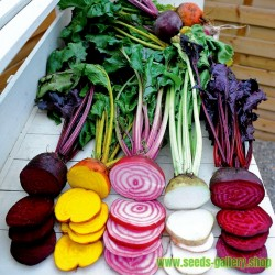 Beetroot Rainbow Beet Seeds