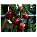 Graines de Tomate GERANIUM KISS