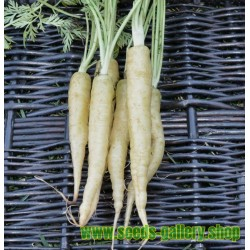 Lunar White – weiße Möhre - Karotte Samen