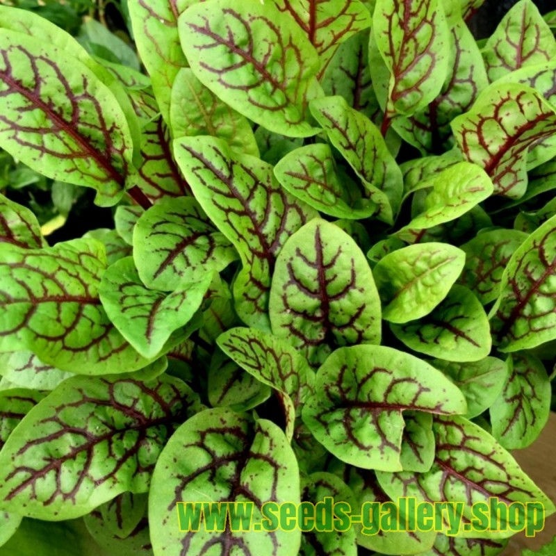 COMMON SORREL or GARDEN SORREL Seeds