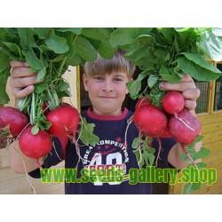 """Σπόρων Γιγαντιαίων Ραπανάκι """"ROSSO GIGANTE"""""""
