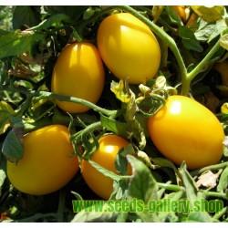 GOLD ROMA Tomato Seeds
