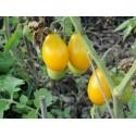 Salvija Seme (Salvia splendes)