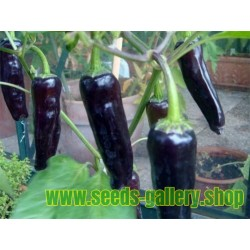 MARCONI PURPLE Sweet Pepper Seeds