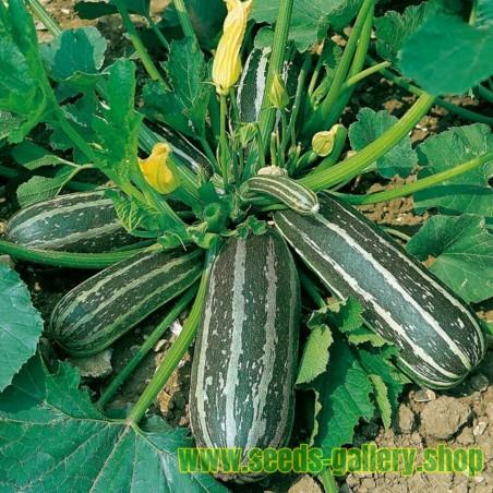 Σπόροι Κολοκυθάκια MARROW LONG GREEN BUSH