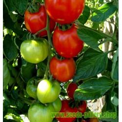 Semillas de tomate Moneymaker