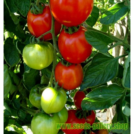 Sementes de Tomate Moneymaker
