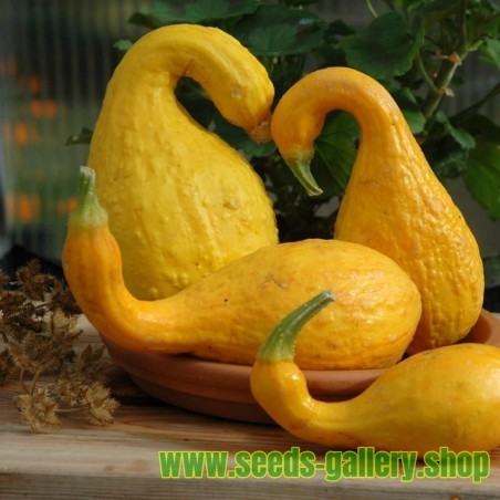 Ornamental Crookneck Squash Seeds