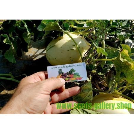 Graines De Melon Branco SNOW LEOPARD - TRÈS RARE