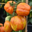 Semillas de tomate STRIPED STUFFER