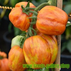 Striped Stuffer Tomato Seeds