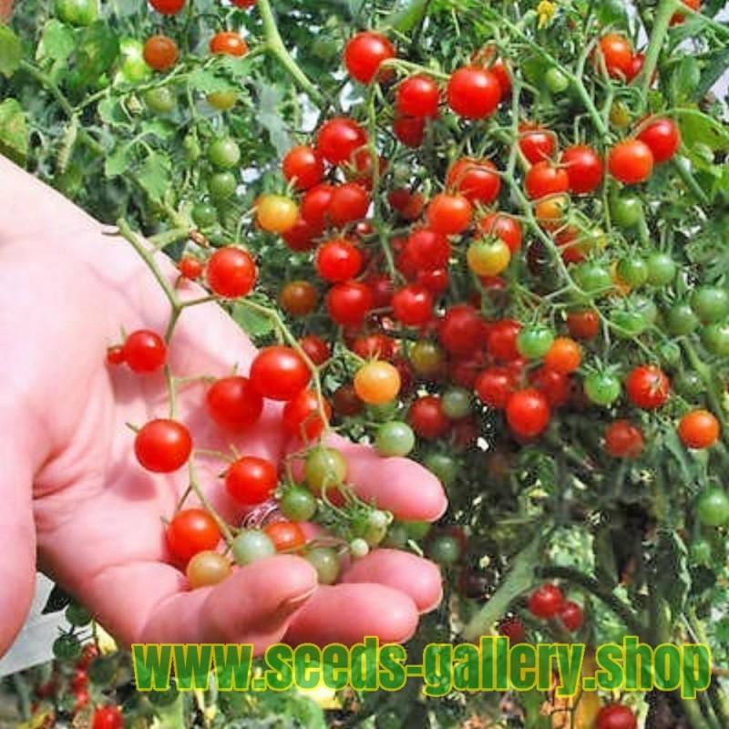 Σπόροι Ντομάτας SWEET PEA CURRANT