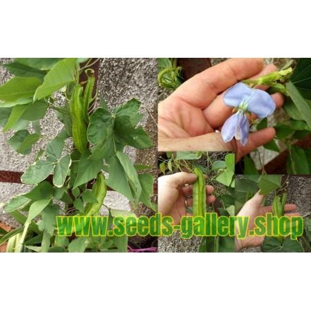 Graines de Faux Cyprès (Kochia Trichophylla)
