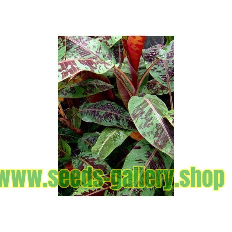 Habanero Madame Jeanette Red Seeds