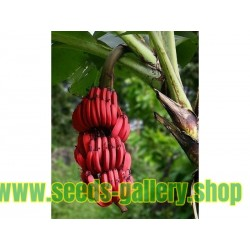 BLOOD BANANA Seeds