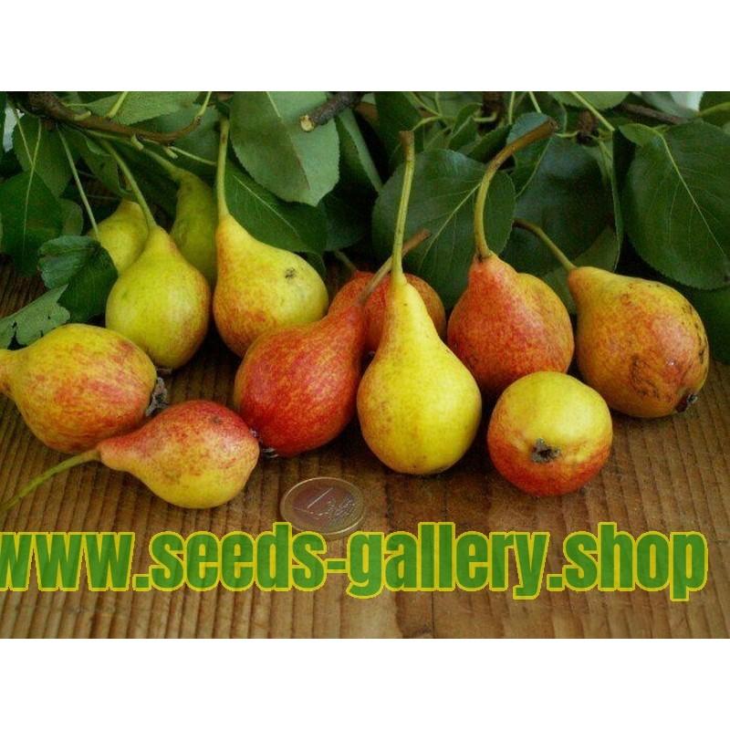Semillas de pera San Giovanni (Pyrus Communis Giugno)