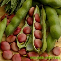 Fava Bohnen Samen