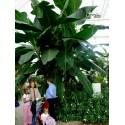 Musa acuminata Banane Samen, Bananenbaum, Bananenpalme