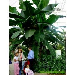 Σπόροι μπανάνα Darjeeling